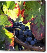 September Grapes - Square Acrylic Print