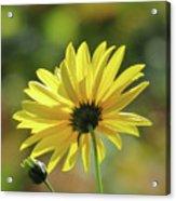 September Sunny Daisy Acrylic Print