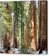 Sequoia Forest Acrylic Print