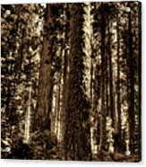 Sequoia Grove Along Crescent Meadow Loop Acrylic Print