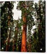 Sequoia In Kings Canyon Acrylic Print