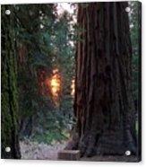 Sequoia Sunset Acrylic Print