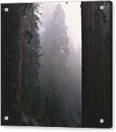 Sequoia Trees Dwarf A Car Traveling Acrylic Print by Carsten Peter