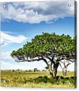 Serengeti Acacia Acrylic Print