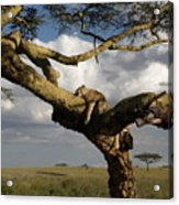 Serengeti Dreams Acrylic Print