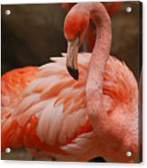 Serious Flamingo Acrylic Print