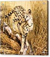 Serval Acrylic Print