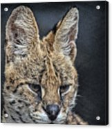 Serval Portrait Acrylic Print