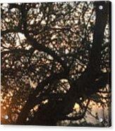 Setting Sun In Tree Acrylic Print