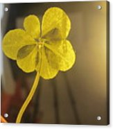 Seven Leaf Clover In Studio Acrylic Print