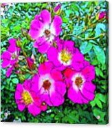 Seven Sisters Rose Variant Acrylic Print