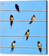 Seven Swallows Acrylic Print