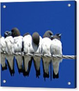 Seven Swallows Sitting Acrylic Print