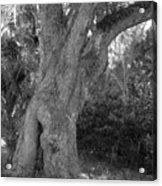 Kingsley Plantation Tree Acrylic Print