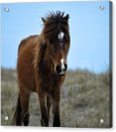 Shackleford Banks Pony Acrylic Print