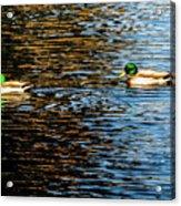 Shade And Sunlight - Mallard Ducks Acrylic Print