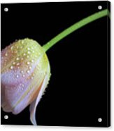 Shade Tulip Acrylic Print by Tracy Hall