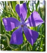 Shaded Greater Periwinkle Acrylic Print