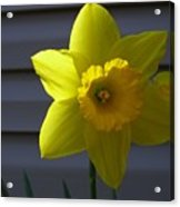 Shaded Yellow Daffodil Acrylic Print