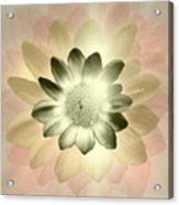 Shades Of A Daisy Acrylic Print