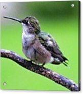 Shades Of Green - Ruby-throated Hummingbird Acrylic Print