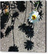 Shadow Daisy Acrylic Print