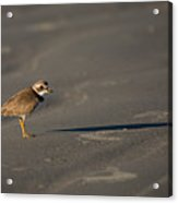 Shadow - Semipalmated Plover Acrylic Print