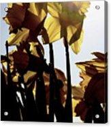 Shadowed Daffodils Acrylic Print