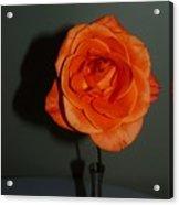 Shadows Of A Peach Rose Acrylic Print