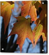 Shadowy Sugar Maple Leaves In Autumn Acrylic Print