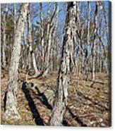 Shagbark Hickory Forest  Acrylic Print