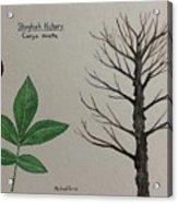 Shagbark Hickory Tree Id Acrylic Print