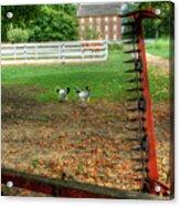 Shaker Chickens Acrylic Print
