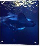 Shark In The Sunlight  Acrylic Print