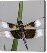 Sharp Focus Dragonfly Acrylic Print