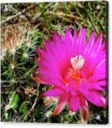 Pincushion Cactus - Coryphantha Vivipara Acrylic Print