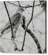 Sharp-shinned Hawk Black And White Acrylic Print
