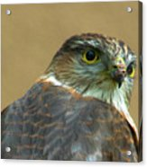 Sharp-shinned Hawk Acrylic Print
