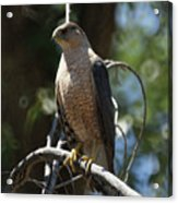 Sharp Shinned Hawk Acrylic Print