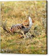 Sharp Tailed Grouse Strutting Acrylic Print