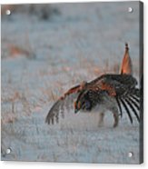 Sharptail Grouse On Snow Acrylic Print