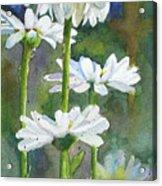 Shasta Daisies Acrylic Print