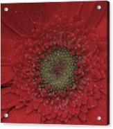 Shasta Daisy Macro Acrylic Print