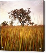 Shea Tree In Field, Near Lira, Uganda Acrylic Print