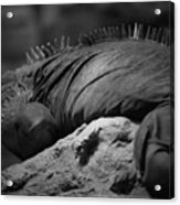 Shedd Aquarium Iguana Acrylic Print