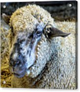 Sheep 1 Acrylic Print