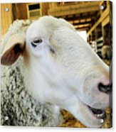 Sheep 2 Acrylic Print
