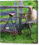 Sheep And Bicycle Acrylic Print