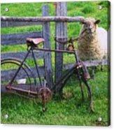Sheep And Bicycle Acrylic Print