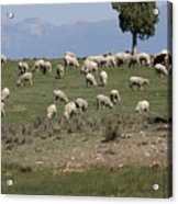 Sheep Country Acrylic Print